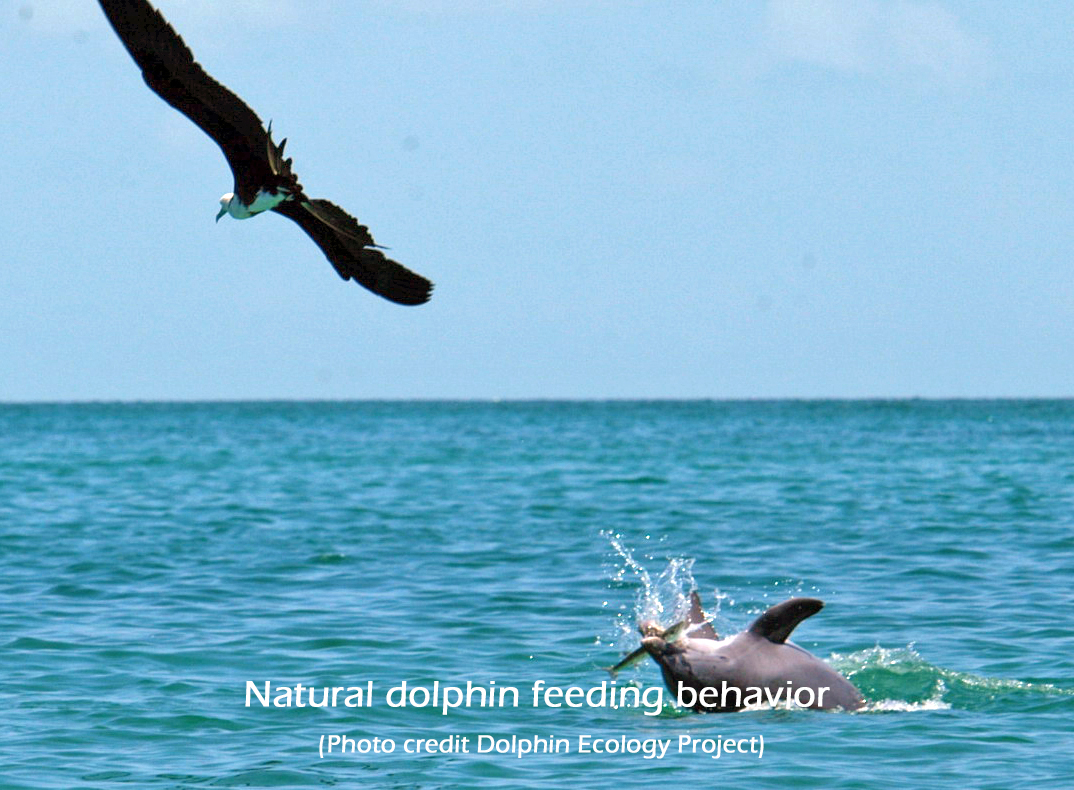Natural dolphin feeding behavior (Photo credit Dolphin Ecology Project)2